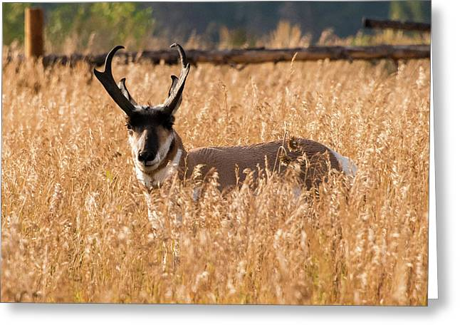 Pronghorn Greeting Card