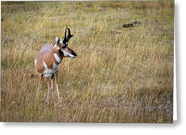 Pronghorn Greeting Card by Jeremy Clinard