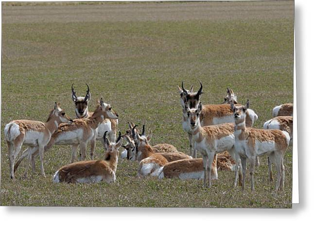 Greeting Card featuring the photograph Pronghorns On Alert by Kae Cheatham