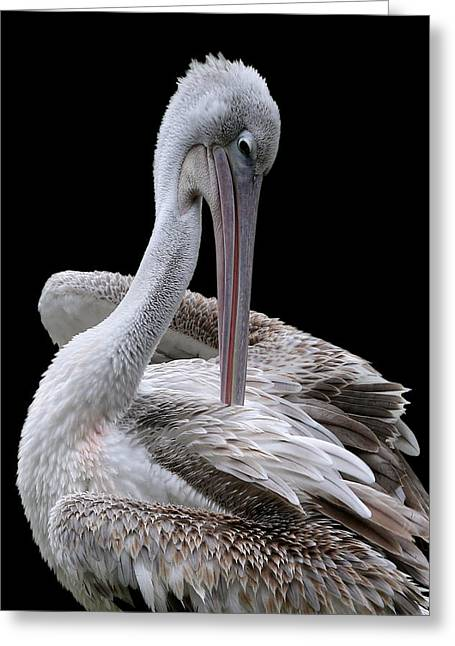 Prospecting - Pelican Greeting Card