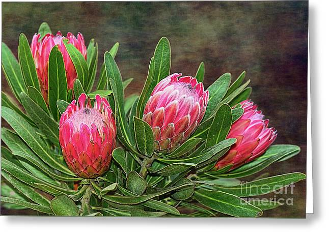 Proteas In Bloom By Kaye Menner Greeting Card by Kaye Menner