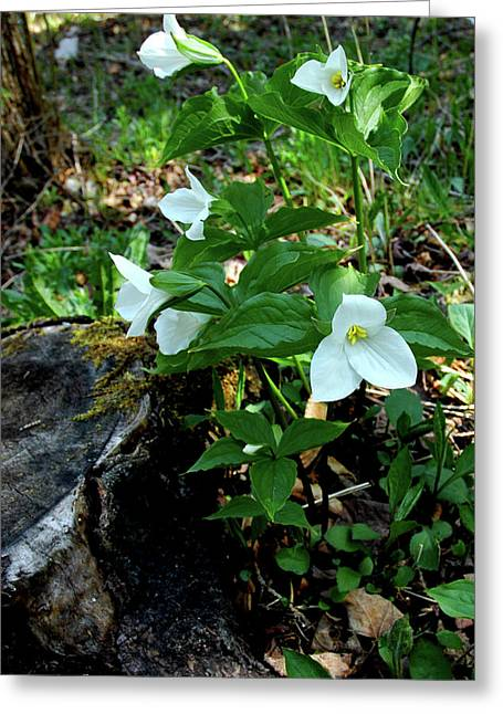 Greeting Card featuring the photograph Protected Wild Trillium  by LeeAnn McLaneGoetz McLaneGoetzStudioLLCcom