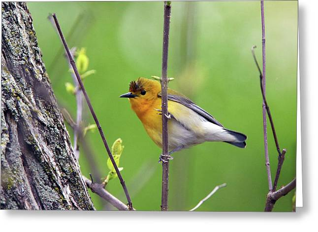 Prothonotary Warbler Greeting Card by David Yunker