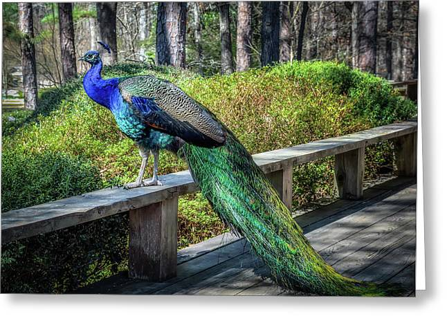 Proud As A Peacock Greeting Card by James Barber