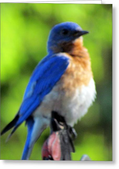 Proud Bluebird Out Kitchen Window Greeting Card by Betty Pieper