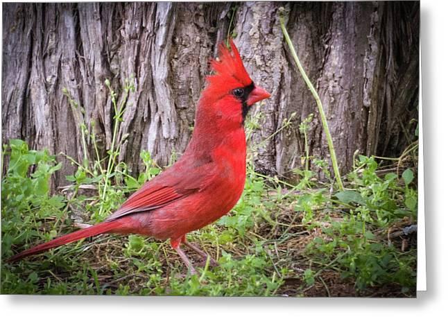 Proud Cardinal Greeting Card