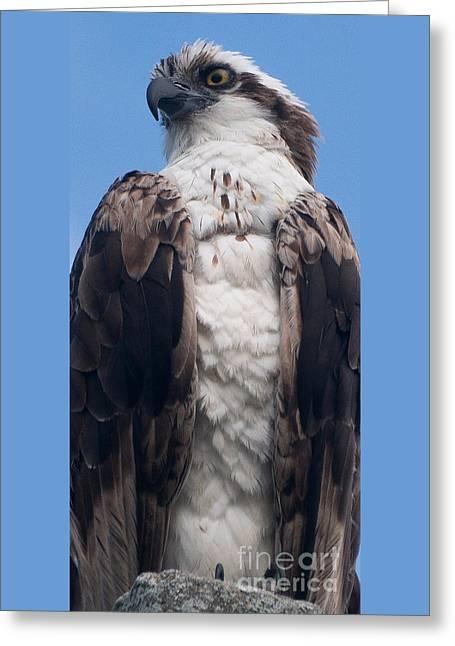 Proud Hawk Greeting Card