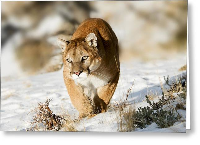 Prowling Mountain Lion Greeting Card