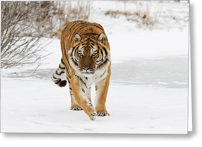 Prowling Tiger Greeting Card
