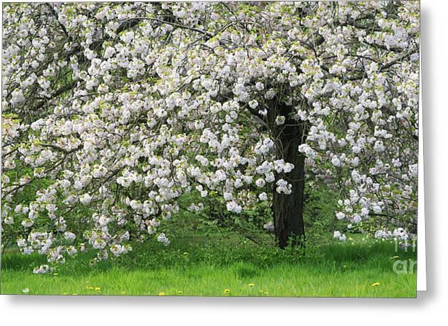 Prunus Choshu Hizakura  Greeting Card by Tim Gainey
