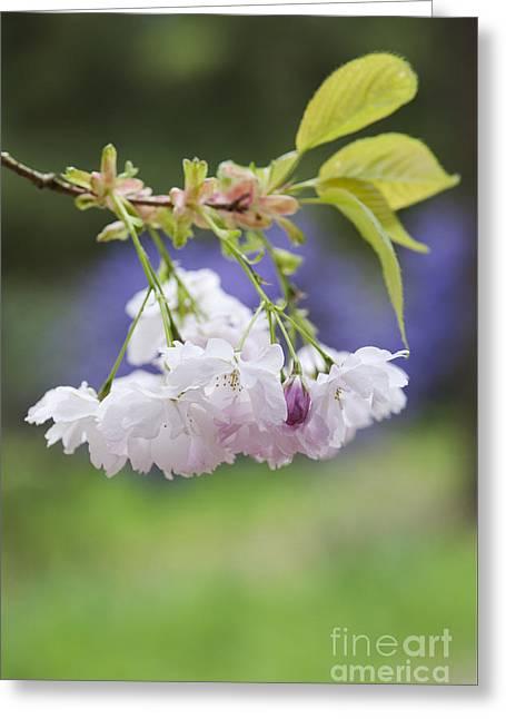 Prunus Shujaku Blossom Greeting Card by Tim Gainey