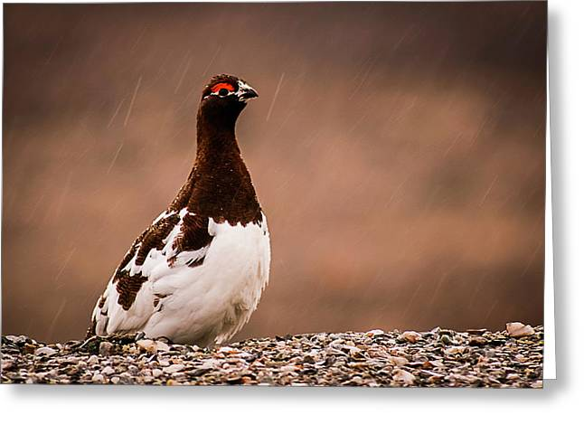 Ptarmigan Denali National Park Greeting Card