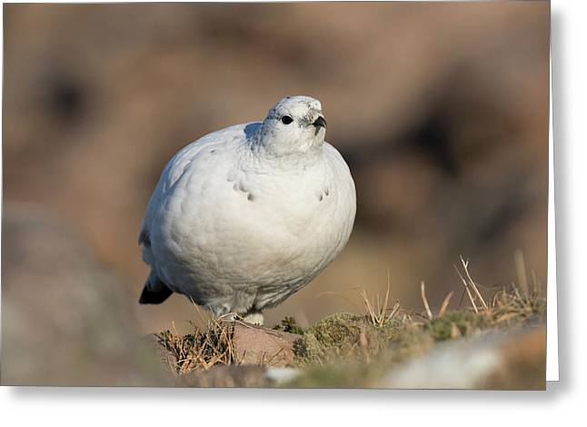 Ptarmigan Going For A Stroll Greeting Card