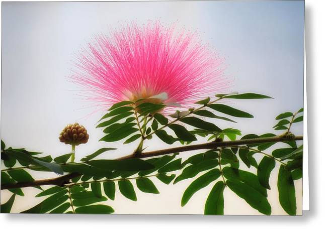 Puff Of Pink - Mimosa Flower Greeting Card