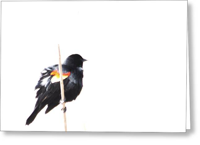 Puffed Up Red-winged Blackbird Greeting Card