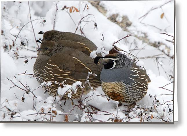 Puffed Winter Quail Family Greeting Card