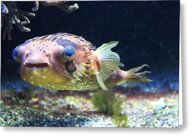 Puffer Greeting Cards - Puffer Fish Greeting Card by Louise Horstmann
