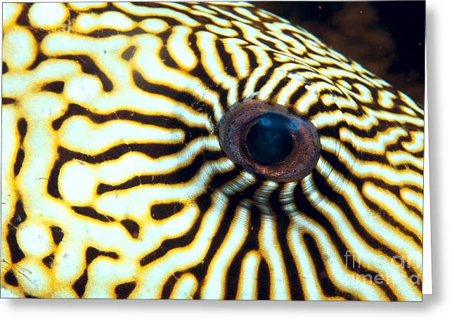 Pufferfish Greeting Card by Dave Fleetham - Printscapes