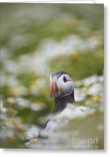 Puffin Portrait Greeting Card by Tim Gainey