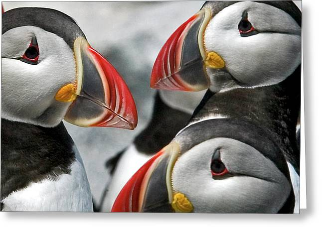 Puffins Closeup Greeting Card