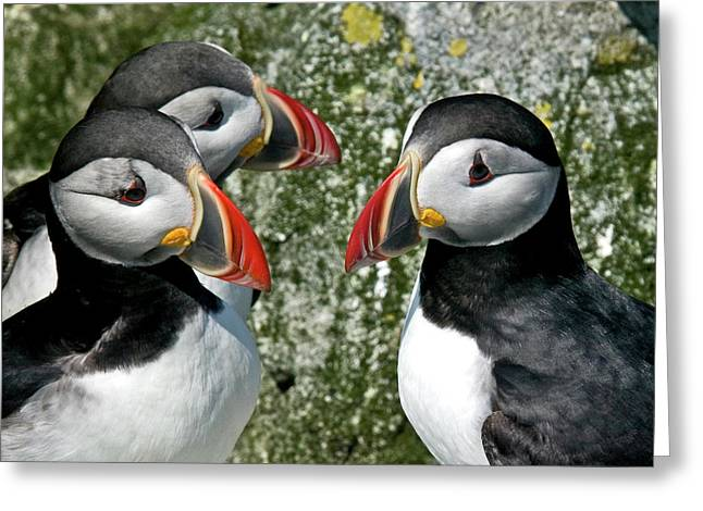 Puffins Together Greeting Card