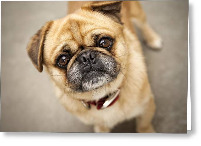 Pug Dog 2 Greeting Card