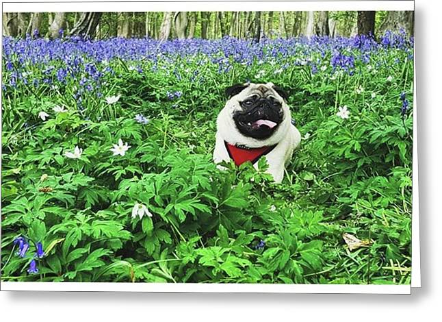 #pugstagram #pugsofinstagram #bluebell Greeting Card by Natalie Anne