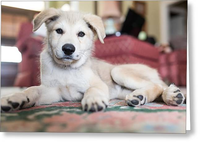 Puppy Dog Lying Smoothcoat 105303 2048x1365 Greeting Card
