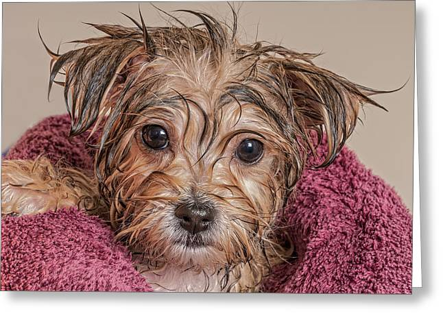 Puppy Getting Dry After His Bath Greeting Card