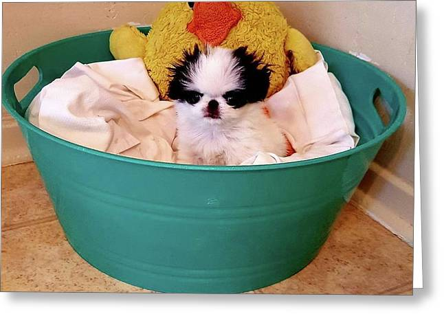Puppy In A Bucket, Japanese Chin Greeting Card by Kathleen Sepulveda