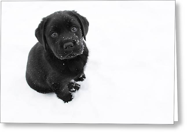 Black Lab Puppy Greeting Cards - Puppy in the Snow Greeting Card by Larry Marshall