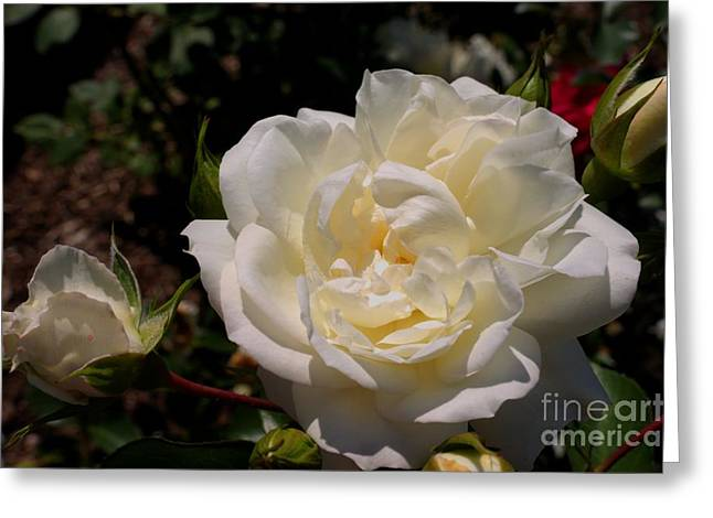 Pure Beauty Greeting Card by David Bishop
