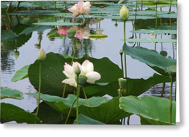 Pure Lotus Greeting Card by Vijay Sharon Govender