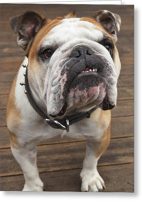 Studded Collar Greeting Cards - Purebred English Bulldog Pacifica Greeting Card by Stuart Westmorland