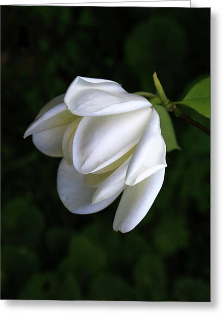 Purity In White Greeting Card