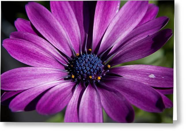 Purple African Daisy Greeting Card by Robert  Torkomian