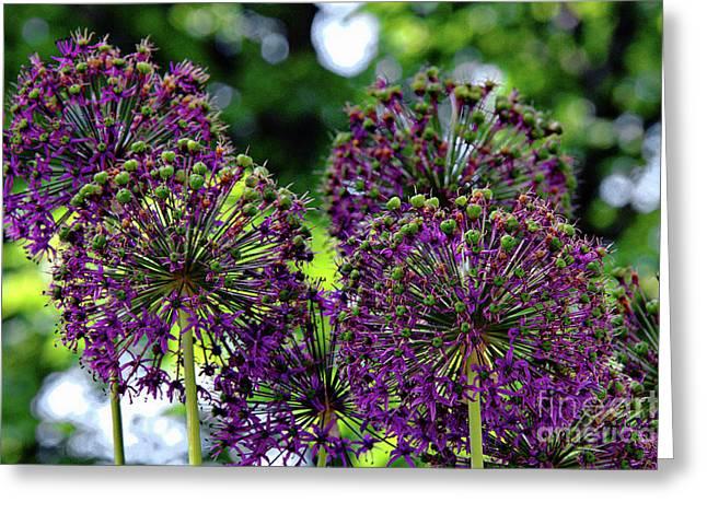 Purple Allium Hollandicum Greeting Card