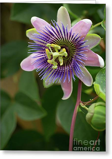 Purple And Pink Passion Greeting Card