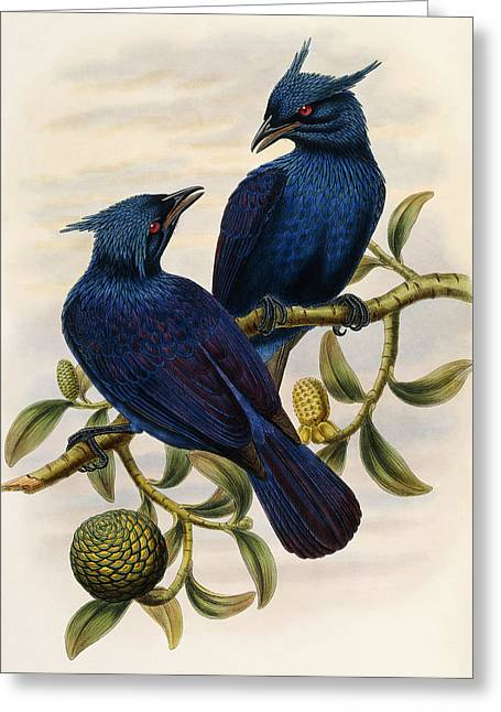 Purple And Violet Manucode Greeting Card by John Gould