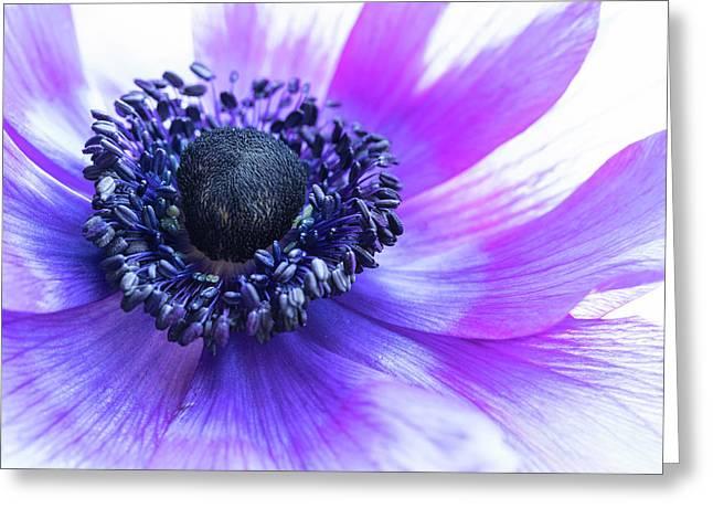 Purple Anemone Greeting Card