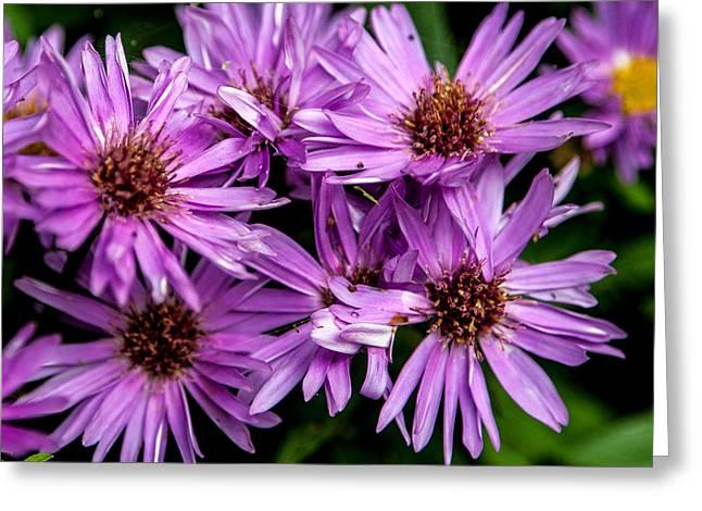 Purple Aster Blooms Greeting Card by John Haldane
