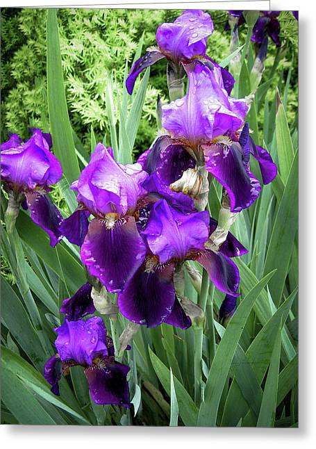 Greeting Card featuring the photograph Purple Bearded Irises by Penny Lisowski