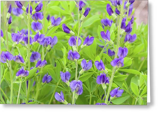 Purple Beauties Greeting Card