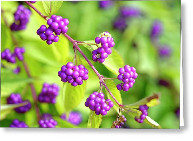 Purple Berries Greeting Card