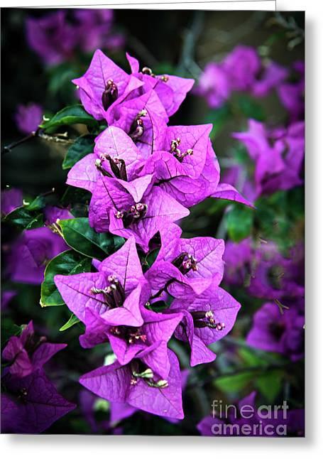 Purple Bougainvillea Greeting Card