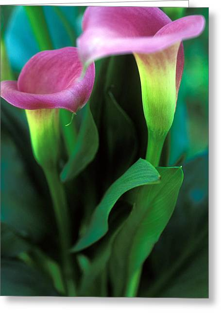 Purple Calla Duet Greeting Card by Kathy Yates