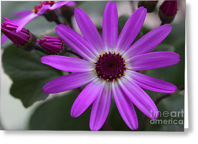 Purple Cineraria Flower And Buds 2016 Greeting Card by Karen Adams