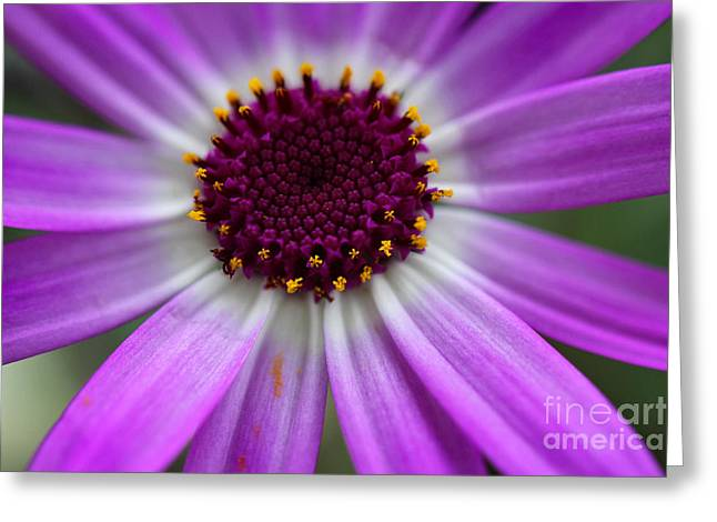 Purple Cineraria Flower Close-up 2016 Greeting Card by Karen Adams