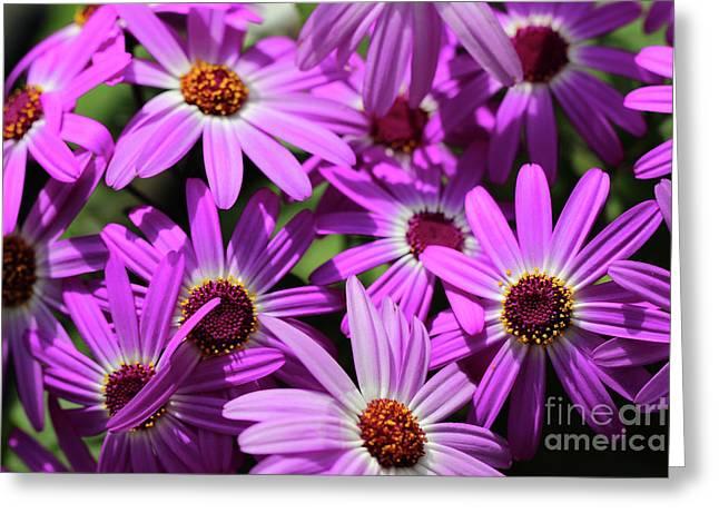 Purple Cineraria Flowers Greeting Card