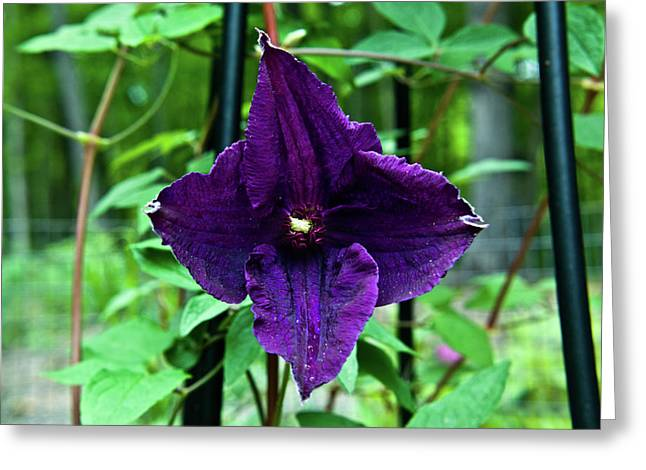 Festivities Greeting Cards - Purple Clematis henryi Greeting Card by Douglas Barnett